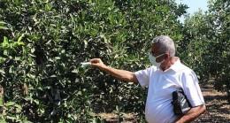 Antalya Büyükşehir Belediyesi'nden Kumlucalı üreticilere faydalı böcek